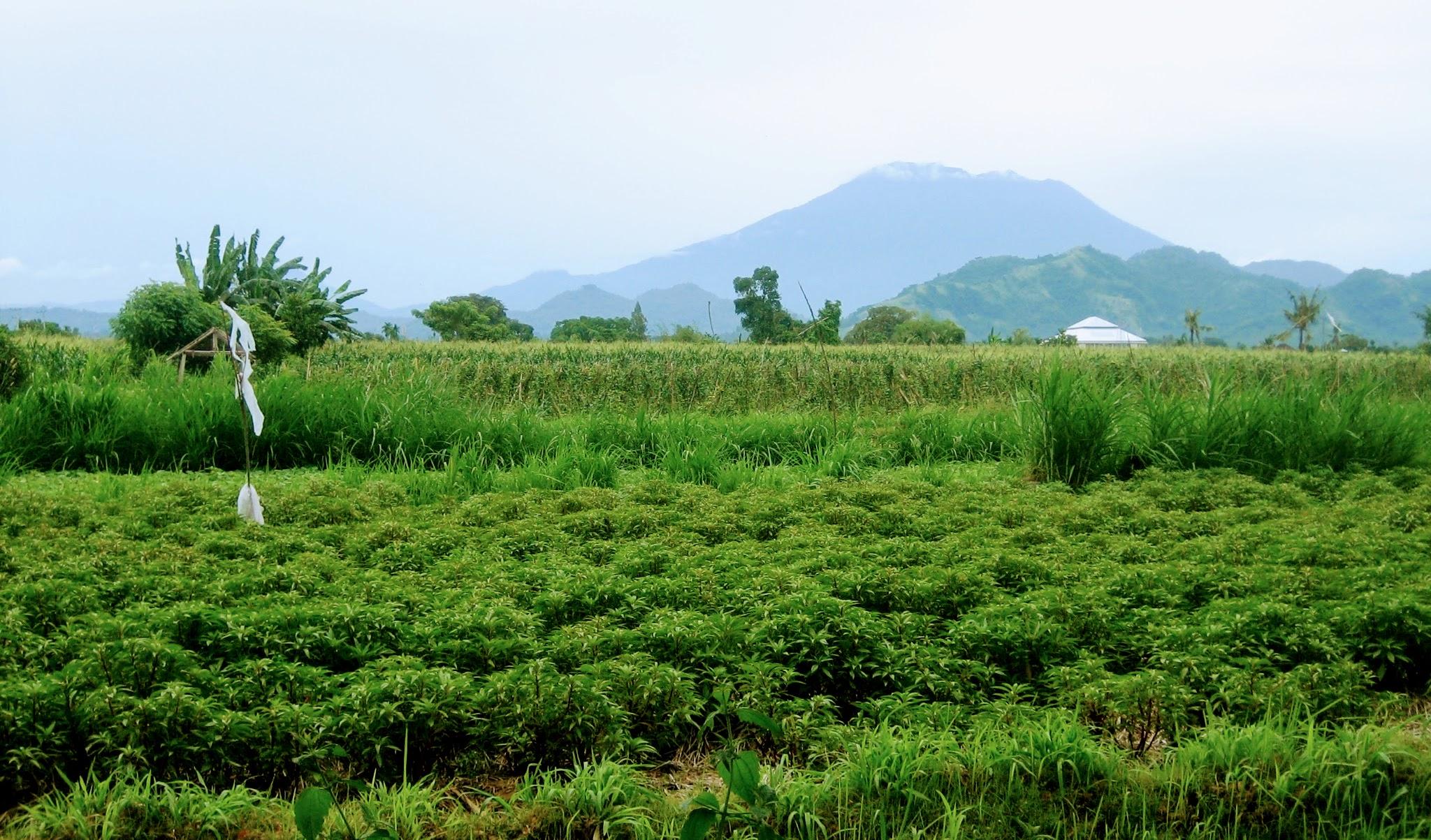 Паданг-бай, салат из помидоров и битва с Тараканищем