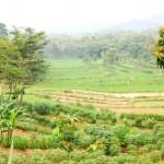 Рисовые поля южной части острова Ява