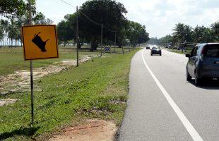 по дороге в Теренггану в Малайзии могут встретиться падающие коровы