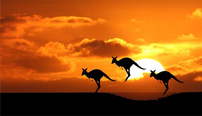 Кенгуру в Австралии много