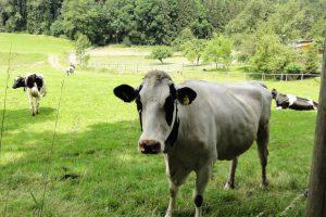 Коровы на склонах Баварии